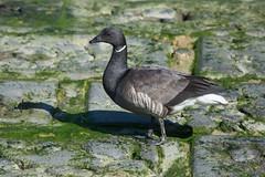 DSC_2301_Edit (Clive Webber) Tags: anatidae anseriformes anserinae belgium bird brantabernicla brentgoose ijzermonding nieuwpoort places westvlaanderen