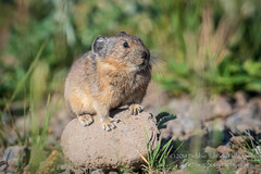 The Pika Lookout Rock (TNWA Photography (Debbie Tubridy)) Tags: pika harefamily tinycritter animal wildlife perched onrock grasses highaltitude onthelookout summer wild nature activity behavior natural habitat environment colorado outdoors alert debbietubridy tnwaphotography