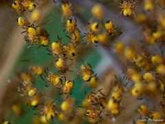 Piccoli di Araneus Diadematus (laura.mnz) Tags: ragno spider natura primavera cuccioli colore giallo nero ragnatela colr yellow black boke