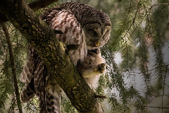 Barred Owl_1NG7025 (adventure_photography) Tags: vandusen vancouver barred owl dark forrest trees
