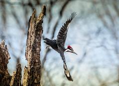 Pileated Woodpecker Take-off (Kitty Kono) Tags: valleyforge pileatedwoodpecker kittyrileykono woods takeoff