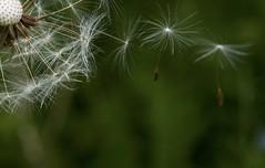 parachuting (eva.pave) Tags: nature flower dandelion macro detail flowering fadingaway bokeh dof rural