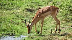 Botswana Waterbuck? (h0n3yb33z) Tags: botswana animals wildlife chobenationalpark waterbuck antelope africa
