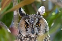 DSC_5593-Editar (António Caiado) Tags: bufopequeno northern longeared owl asio otus rapina nocturna