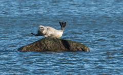 Harbor seal - Mt. Loretto Unique Area, Staten Island, New York (superpugger) Tags: seal seals harborseals mammal mammals marinemammals princesbay raritanbay pinnipeds pinniped animals outdoors nature statenislandwildlife newyorkcitynature statenislandoutdoors wildlife fauna sea bay lowerbay marine