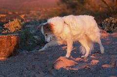 1/52 Nadja (utski7) Tags: 52weeksfordogs nadja sillymountain arizona january2019 hiking slowlywinstherace sunset