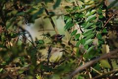 Cedar Waxwing (seanrobertson02) Tags: nikkor leaves animal tree branch d40x nikon yellow woods winter berry brown green bushes afternoon nature bird cedarwaxwing
