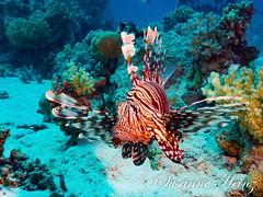 Red Fire....... (susheinz) Tags: fish fisch unterwasser underwater ocean meer