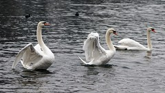 Three (malioli) Tags: animal wildlife bird swan swans river water korana karlovac croatia action live life hrvatska europe canon