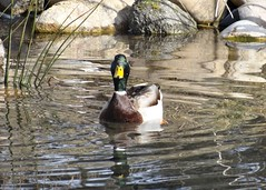 Welcoming duck (EcoSnake) Tags: ducks mallards waterfowl wildlife february winter cold idahofishandgame naturecenter