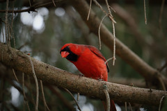 Intrigued (Millie Cruz) Tags: bird cardinal red branch tree animal backyard pine canoneosrebelt6i efs55250mmf456isstm