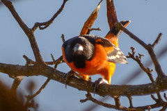 Baltimore Oriole in Kingston (Jamdowner) Tags: oriole baltimoreoriole kingston jamaica bird yard icterusgalbula migrant rare