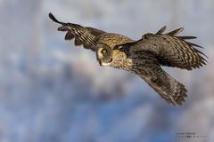 Great grey owl (idvisions) Tags: wildlife wetlands wetland wings explore thewonderfulworldofbirds outdoor interestingness bird birds birdinflight owl owls greatgreyowl canoneos7d