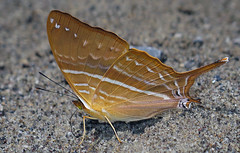 Marpesia corinna (hippobosca) Tags: butterfly marpesiacorinna nymphalidae peru macro insect lepidoptera