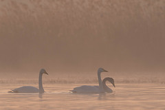 Gleiten (IIIfbIII) Tags: swan wooper singschwan schwan bird photography fotografie nature natur naturfotografie canon fog mgla nebel foggy wildlife wild vögel mv mecklenburg lake see light sun winter