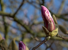 Early magnolia in Avenham Park (Tony Worrall) Tags: avenhampark avenham spring pink colourful flower bloom flowers lovely grown beauty february park preston lancs lancashire city welovethenorth nw northwest north update place location uk england visit area attraction open stream tour country item greatbritain britain english british gb capture buy stock sell sale outside outdoors caught photo shoot shot picture captured ilobsterit instragram photosofpreston magnolia plabt tree