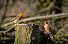 🇬🇧 Can you both hold that pose.... and click (vickyouten) Tags: robin chaffinch nature naturephotography wildlife britishwildlife wildlifephotography nikon nikond7200 nikonphotography nikkor55300mm burtonwood warrington uk vickyouten