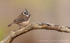 Crested Tit (www.facebook.com/PaulSmithWildlife) Tags: wildlife nature bird scotland cairngorms winter springwatch