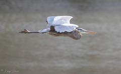 FM5A0369 (Kemp Davis) Tags: wildlife nature aquaticbird greatblueheron