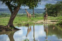 whats up? (lamydude) Tags: safari giraffe tarangire tanzania