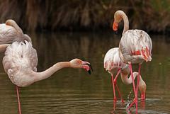 Quarrel (JLM62380) Tags: pink flamingos flamant rose quarrel altercation dispute camargue france eau oiseau nature lavieenrose