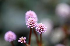 Tiny wild flowers (Christian Chene Tahiti) Tags: canon 6d auckland nouvellezélande nezealand macro bokeh extérieur jardin garden flower fleur fleursauvage wild tiny plante automne