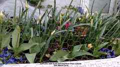 Daffodils with buds balcony floor from outside 20th March 2019 (D@viD_2.011) Tags: daffodils with buds balcony floor from outside 20th march 2019