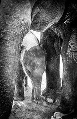 Baby Elephant (judy dean) Tags: judydean 2019 2005 srilanka elephantorphanage baby elephant reworked bw