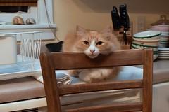 late-night company (Jimmy) (rootcrop54) Tags: jimmy orange ginger tabby longhaired longhair male boy tallchair neko macska kedi 猫 kočka kissa γάτα köttur kucing gatto 고양이 kaķis katė katt katze katzen kot кошка mačka gatos maček kitteh chat ネコ cc100 merrychristmas 2019 cc1000 cc2000