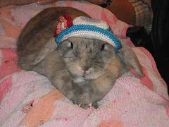 Polly wearing her flower hat (eveliensbunnypics) Tags: bunny rabbit lop lopeared polly indoor house lap towel blankie hat crocheted cotton flower girly inside