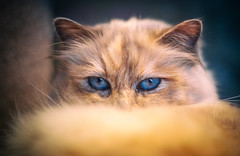 I will find you... (Simon[L]) Tags: cat birman assassin blueeyes killer predator canon50mmf18ltm