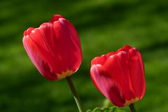 Red in green (evisdotter) Tags: red tulips röda tulpaner flowers blommor macro bokeh colors light sooc