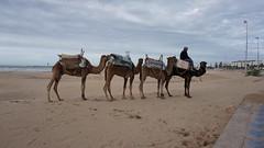 2016-01-08_16-06-39_ILCE-6000_DSC02746 (Miguel Discart (Photos Vrac)) Tags: 2016 24mm animal animalphotography animals animalsupclose animaux beach citytrip epz1650mmf3556oss essaouira focallength24mm focallengthin35mmformat24mm holiday ilce6000 iso100 landscape maroc meteo morocco nature naturephotography panorama plage sony sonyilce6000 sonyilce6000epz1650mmf3556oss travel vacance vacances voyage weather