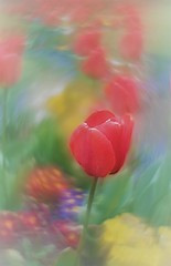 Red tulips (scarbrog) Tags: soft dreamy swirlybokeh redtulips helios442 reversedfrontlens reversedfrontelement bokeh red flower dof painterly art photopainting spring tulip