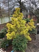 Pinus contorta 'chief joseph' (Petersham Plantsman) Tags: pinus contorta chief joseph pine needles emerging light green slowly dark before bright yellow winter