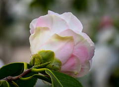 Kamelie (LuckyMeyer) Tags: kamelie flower fleur botanical garden