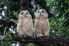 Great Horned Owlets (Lyall Bouchard) Tags: alberta bird calgary greathornedowl inglewoodbirdsanctuary canada ca