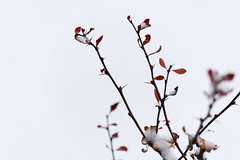 Minimally Barberry - Thorny (Modkuse) Tags: winter snow cold thorns sharp nature natural minimalism minimal minimalist fujifilm fujifilmxt2 xt2 xf55200mmf3548rlmois fujinon fujinonxf55200mmf3548rlmois art artphotography artistic photoart fineartphotography fineart barberry