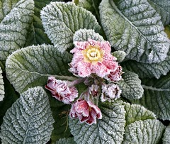 Frosted primulas 1 (kitmasterbloke) Tags: cold frost icecrystals winter essex nature plants pattern geometric symmetry ground landscape outdoor uk morning temperature sunlight sunny