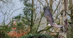 ZeeArend2 (Borreltje.com) Tags: zeearend baldeagle eagle bird birds vogel vogels topvogel birdofprey birdsofprey