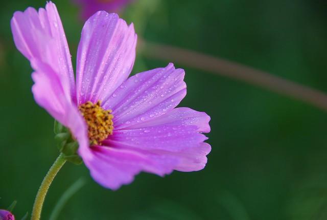 Обои Капли, Боке, космея, Bokeh, Drops, Фиолетовый цветок, Purple flower, Kosmeya картинки на рабочий стол, раздел цветы - скачать