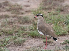 Crowned Lapwing (douwesvincent) Tags: nature uganda oeganda africa world earth eco natural outdoor safari wild open holiday trip birding explore green flora fauna life