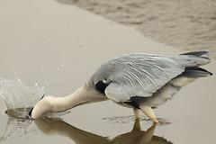 Splash (Teruhide Tomori) Tags: nature bird wild kyoto japan japon hirosawanoike pond winter animal greyheron アオサギ 野鳥 広沢池 京都 冬 鳥 動物 野生 日本