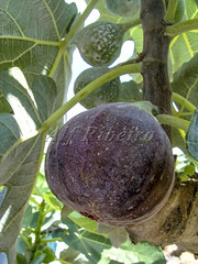 Alf 0001 - 0489 (Alf Ribeiro) Tags: agribusiness agriculture brazil rural agricultural america crop cut farm farmland field fig figs food fresh fruit green immaturity leaves nature outdoor plant production raw south tree