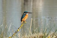 Kingfisher (hedgehoggarden1) Tags: kingfisher bird nature wildlife sonycybershot lackfordlakes suffolk eastanglia uk sony birds creature animal perch lake