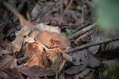 DSC_5679 (stacyjohnmack) Tags: costarica frog