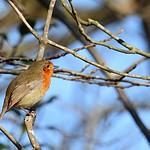 robin Erithacus rubecula thumbnail