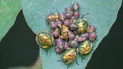 Insetos (Rogerio1958) Tags: nikon d3100 insetos bug maybug insect fauna insects 70300mm
