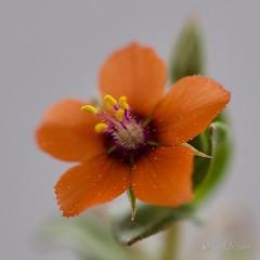 Hierba coral o Muraje (Lysimachia arvensis) (EFD-fotolab) Tags: nikkor105mm nikond610 nikon efdfotolab macrofotografia macro españa invierno floressilvestres anaranjado lysimachiaarvensis muraje hirbacoral flowers