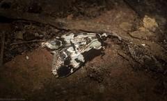 Orthaga seminivea (dustaway) Tags: insecta lepidoptera pyralidae epipaschiinae orthagaseminivea australianmoths australianwildlife tamborinemountain mounttamborine sequeensland queensland australia